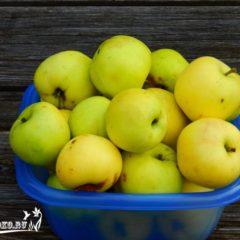 яблоня славянка, описание сорта, отзывы