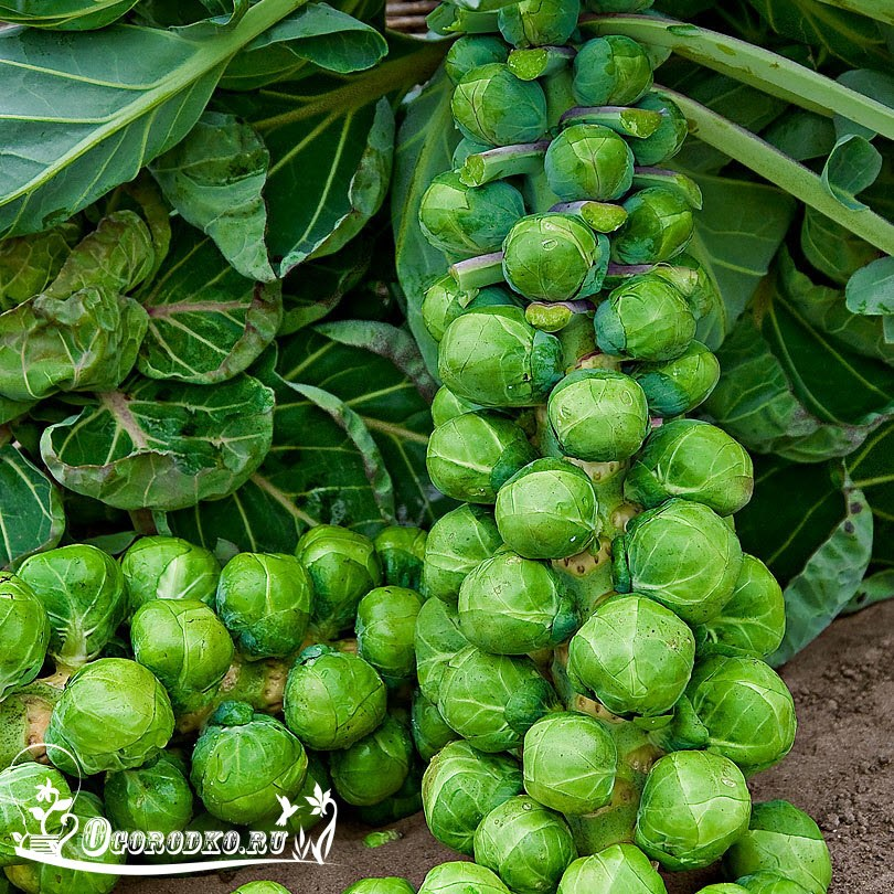 брюссельская капуста, фото, описание