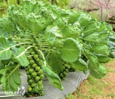 Брюссельская капуста – выращивание без хлопот с большой отдачей урожая!