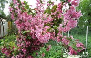 Вейгела – как посадить в саду