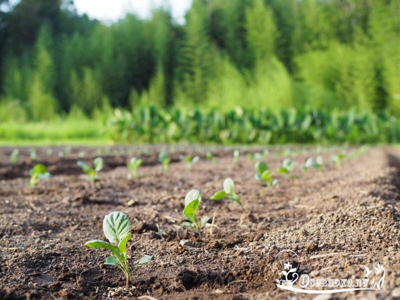 высадка рассады брюссельской капусты, сроки, советы
