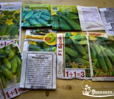 Семена огурцов для открытого грунта – на чем остановить свой выбор?