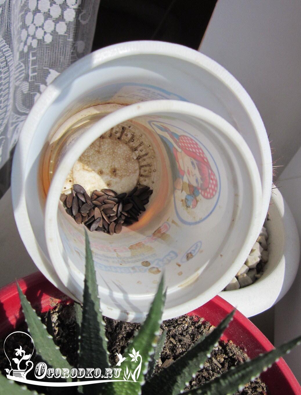 semena ogurtsov sushatsya