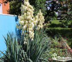 Юкка садовая – секреты садоводов, о которых вы не знали!