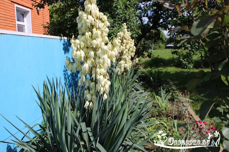 Юкка садовая