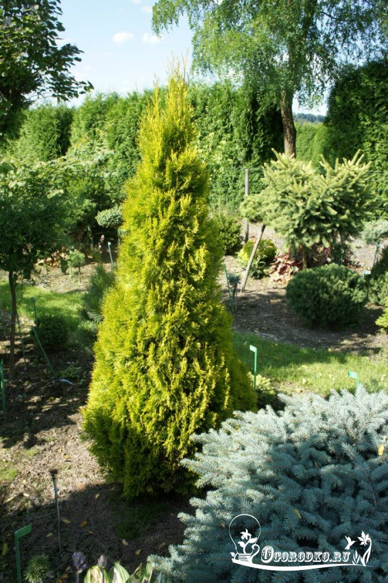 Thuja occidentalis Smaragd Marianna