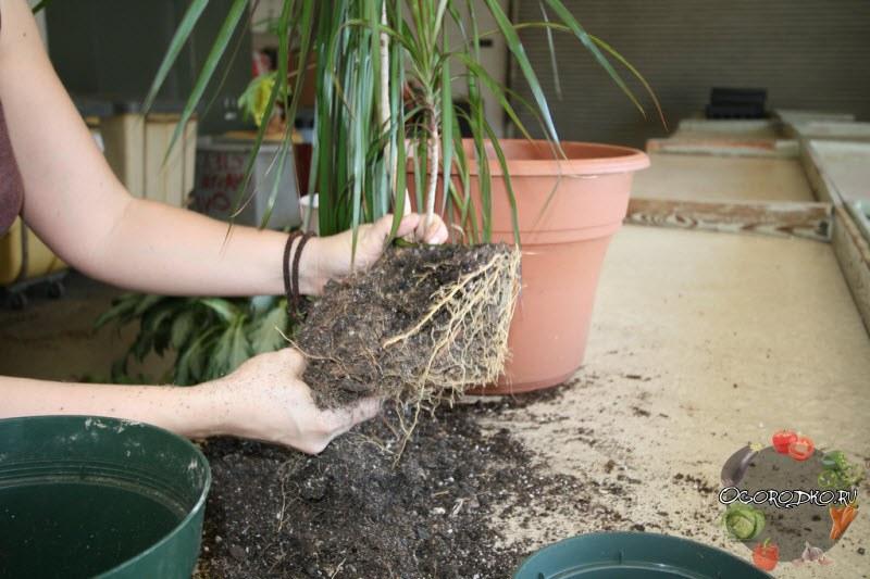 осмотр корней при пересадке драцены