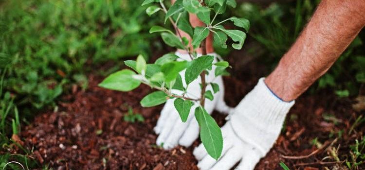 Посадка плодовых деревьев – какие требования стоит учесть для богатого урожая?