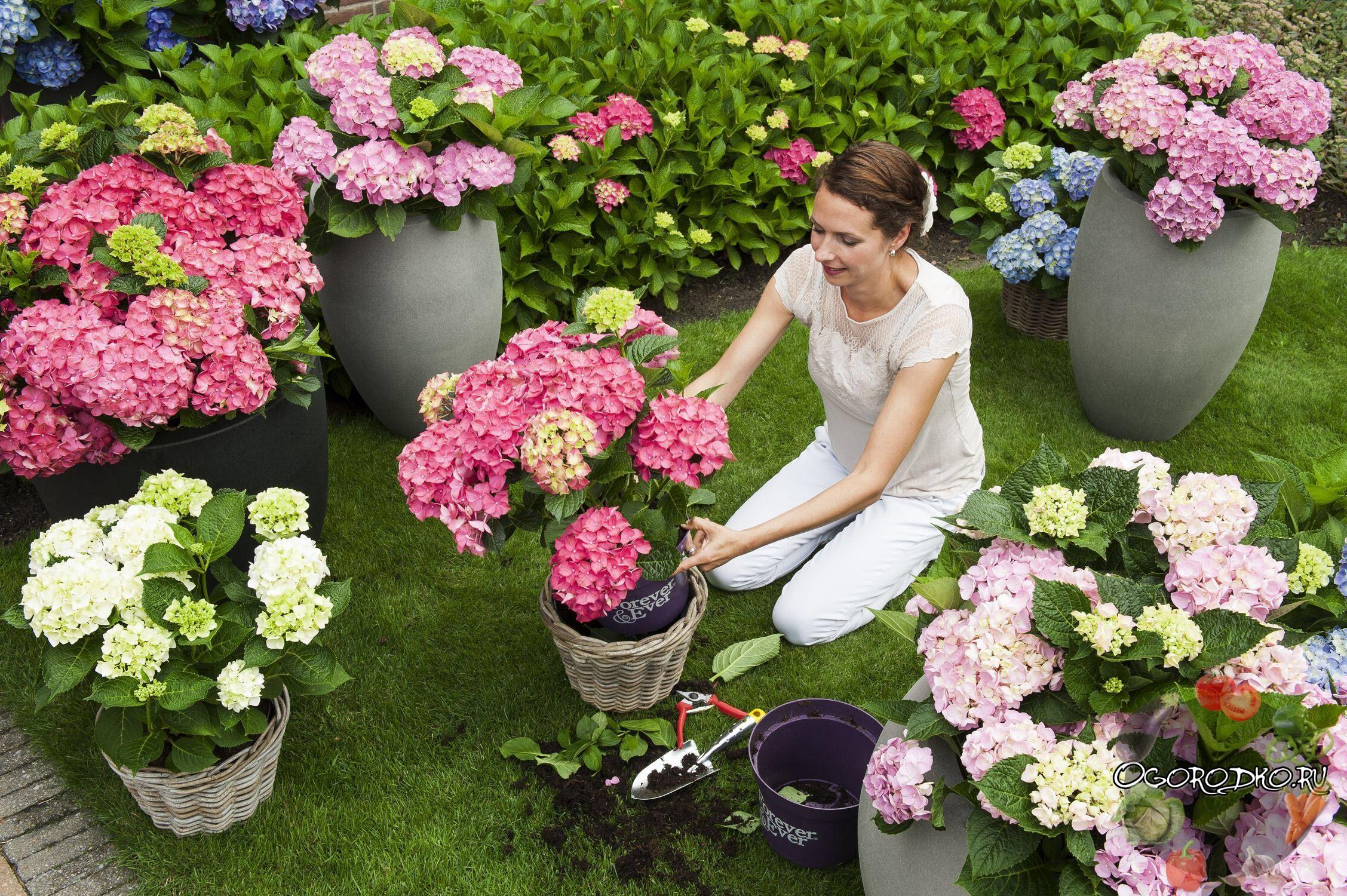 Как правильно посадить и вырастить гортензию в саду или на