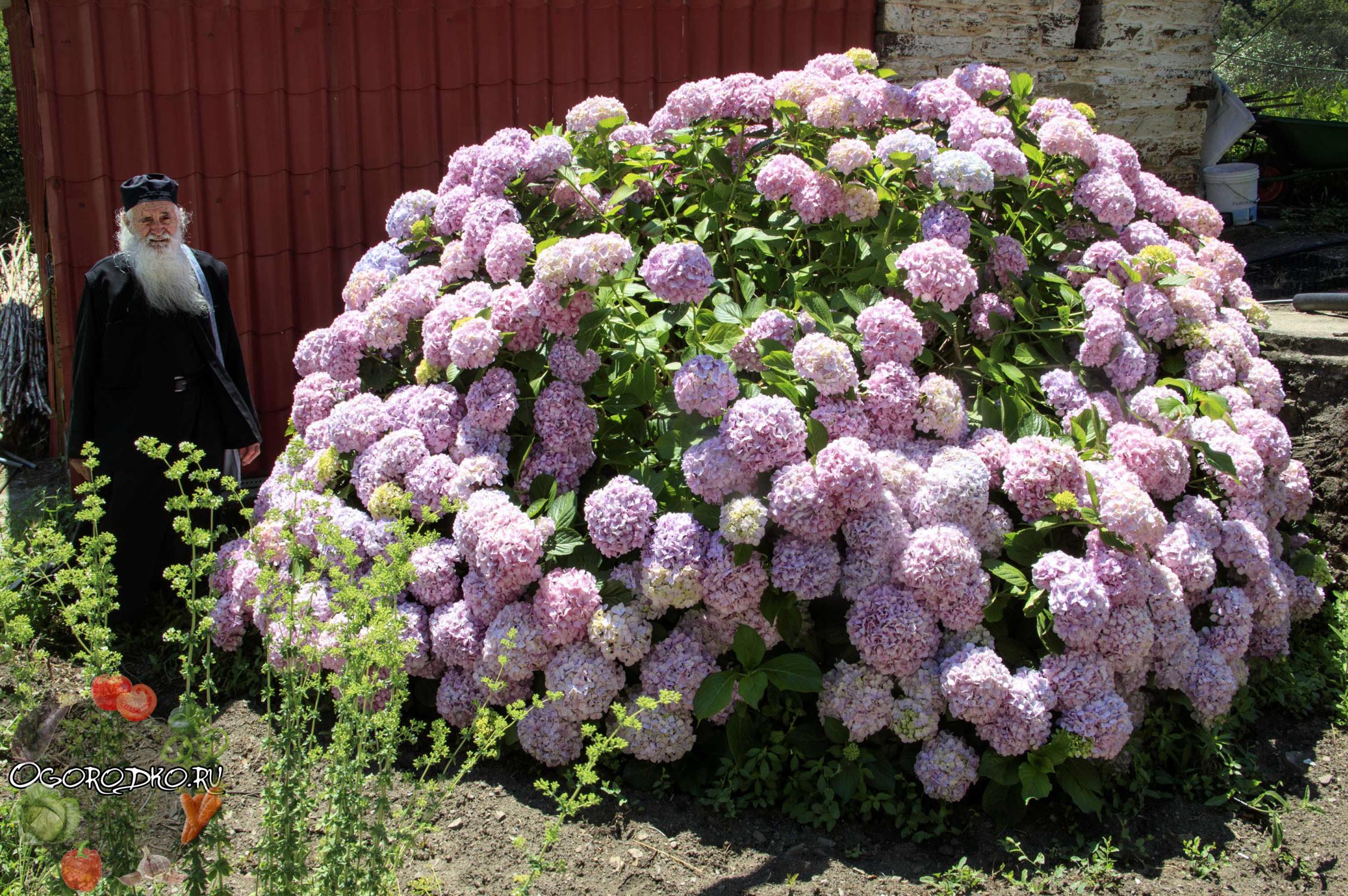 Сажаем гортензию розовую 96