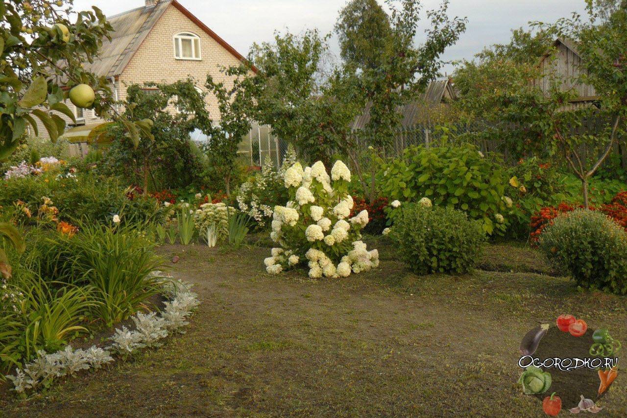 гортензия на садовом участке