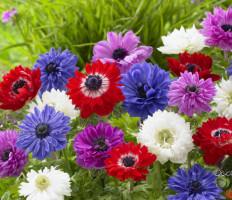 Анемона, посадка и уход – создаем красивый сад