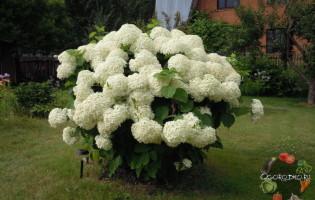 Гортензия, посадка и уход – красивый кустарник в саду за 4 шага