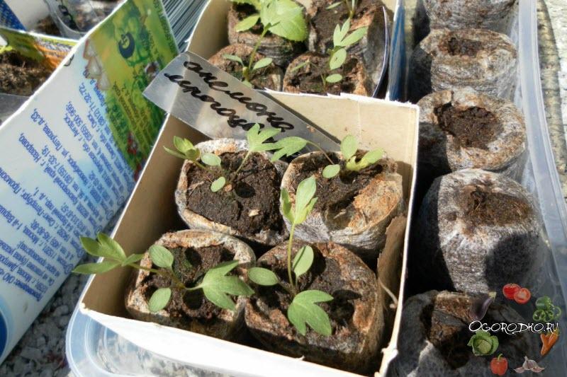 Анемона выращивание из семян когда сажать фото 93