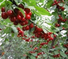 Вишня Тургеневка – что за чудо-дерево?!