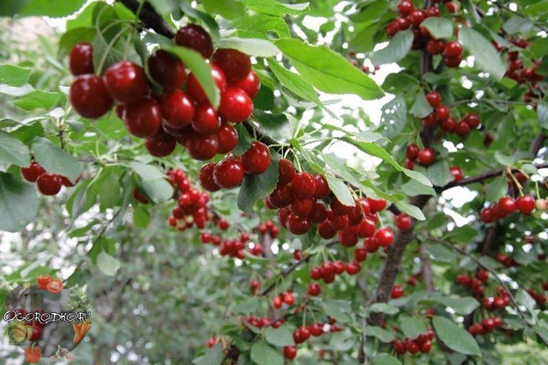 вишня тургеневка - описание сорта