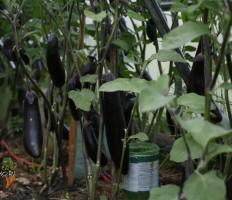 Выращивание баклажанов в теплице или как не навредить своему урожаю!