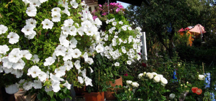 Петуния, посадка и уход или как добиться пышного цветения