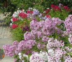 Флоксы, посадка и уход – 5 простых основ создания красивого цветника