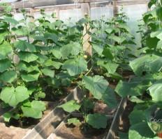 Формирование огурцов – соберите с грядок рекордный урожай!
