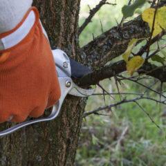 обрезка абрикоса весной, процесс в деталях