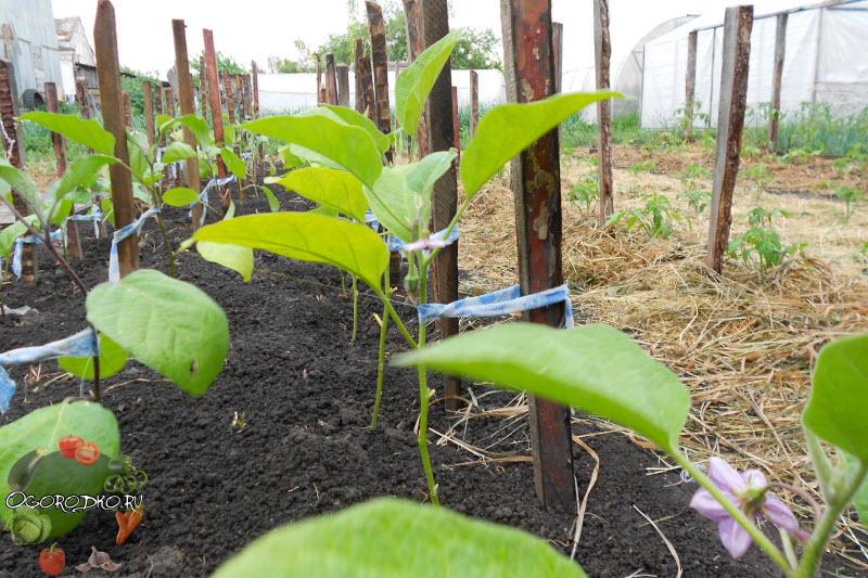 Когда высаживать рассаду баклажанов в открытый грунт 38