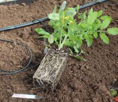 Посадка помидоров в открытый грунт – не навредите растениям!