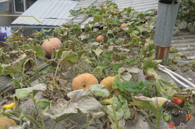 выращивание тыквы на крыше
