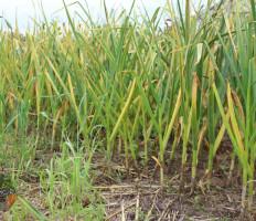 Желтеет чеснок весной, что делать – как быстро спасти будущий урожай?