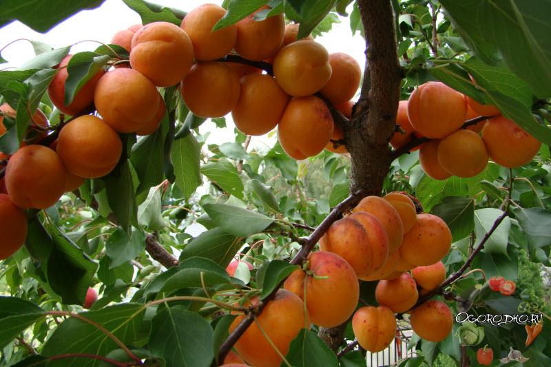 Лучшие сорта абрикоса с описанием