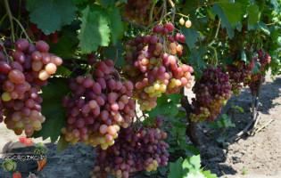 Виноград Велес – чем хорош кишмишный сорт с мускатным вкусом?