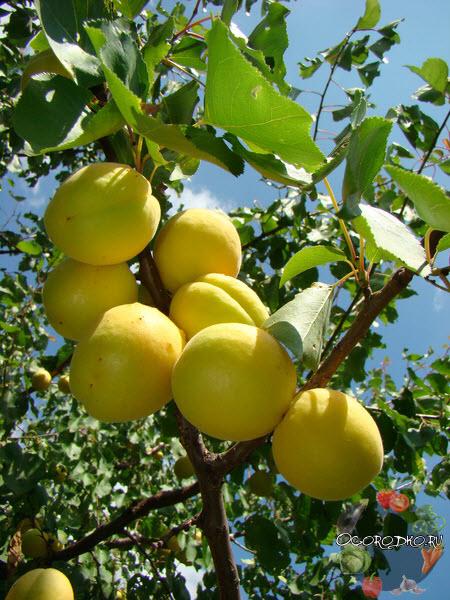 abrikos Ananasnyy