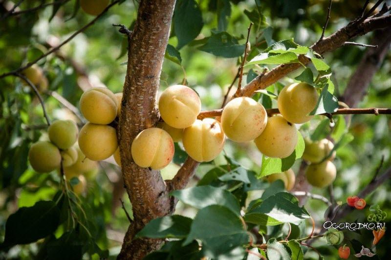 абрикос сорт Северное Сияние