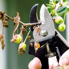 Распространенные болезни вишни с фото
