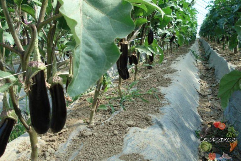 Выращивание баклажан на кубани 19