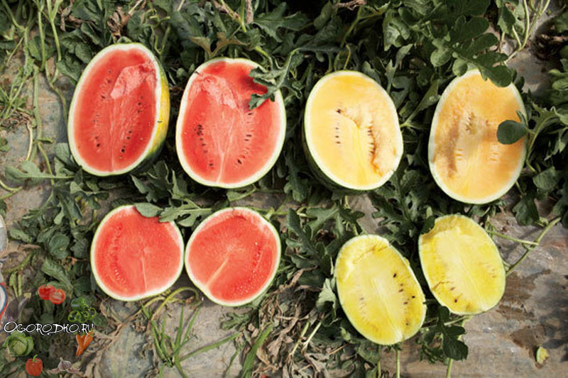 сравнение желтого и красного арбуза