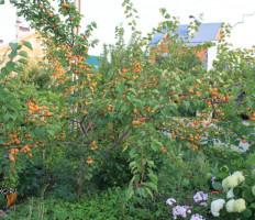 Абрикос Лель – ягода солнца