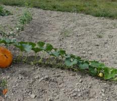 Как прищипывать тыкву в открытом грунте и ухаживать далее?