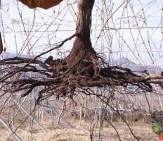 Пересадка винограда весной на новое место – как угодить молодой и взрослой культуре?