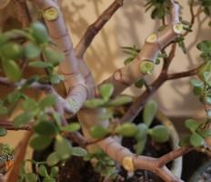 Почему опадают листья у денежного дерева – ищем и устраняем причины!