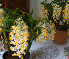 Орхидея Дендробиум – как превратить дикий цветок в домашнего любимца