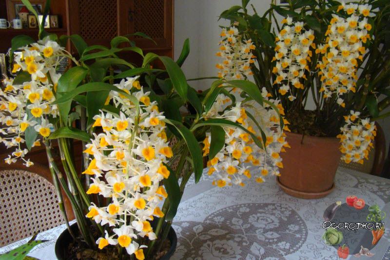orkhideya Dendrobium