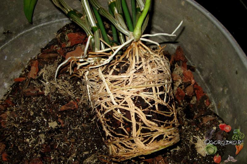Орхидея дендробиум, советы по пересадки