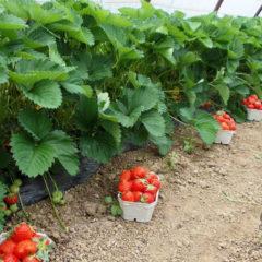 Удобрение для клубники, минеральные, органические, какие лучше?