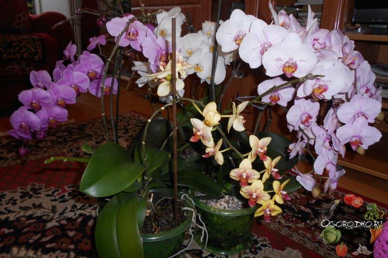 Орхидея фаленопсис обрезка после цветения