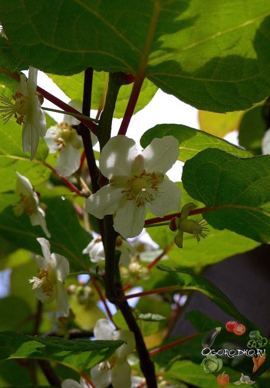 Актинидия коломикта - цветки женские