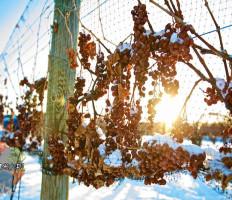 Как подготовить виноград к зиме, чтобы не погиб?