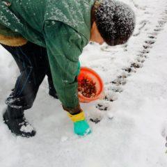Посадка чеснока под зиму