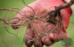 Посадка малины осенью – вычисляем лучшие сроки и способы