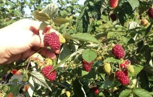 Уход за малиной осенью или как комплекс мер увеличит урожайность в 5 раз?